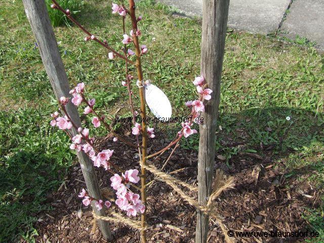 Gartentagebuch 2008 - Pfirsichbaum im garten ...