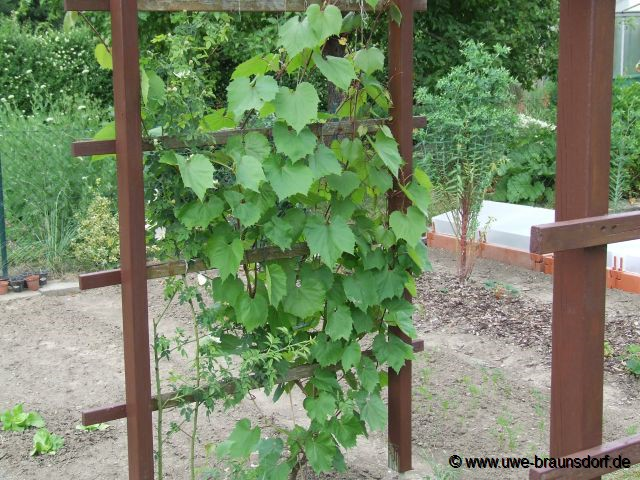 Gartentagebuch 2008 for Weintrauben im garten anbauen