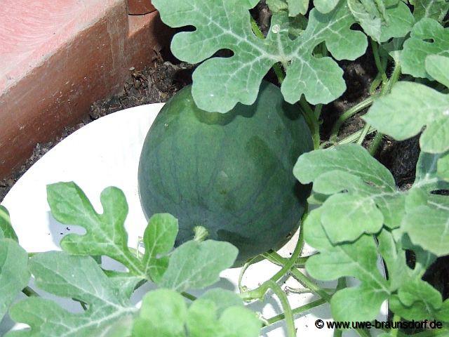 wassermelone bevor gepflückt